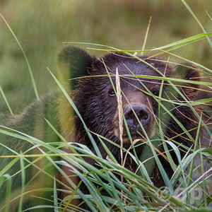 BEAR CUB IN GRASS