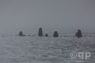 SEA LION WELCOMING COMMITTEE IN THE FOG