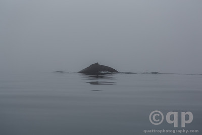 HUMPBACK WHALE IN THE FOG 2