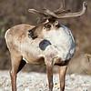 Caribou or Reindeer, Denali National Park, Alaska