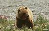 grizlybear