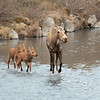 Moose and calves, Denali National Park, Alaska