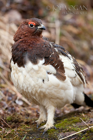 Willow Ptarmigan, Denali National Park, Alaska