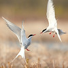 Arctic Terns, Anchorage Coastal Wildlife Refuge, Potter's Marsh, Anchorage Alaska