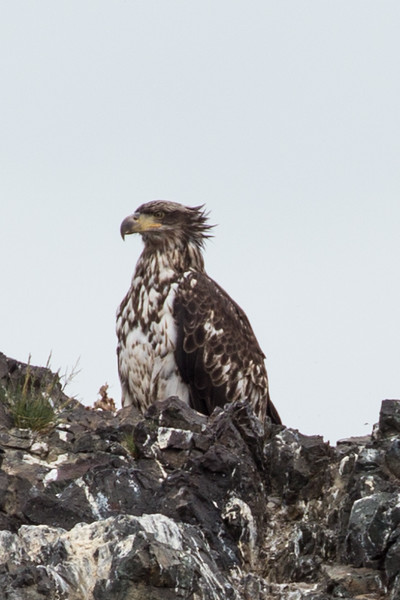 Young Bald Eagle. Rainbow Tours Seldovia Wildlife Tour, 7/15/15.