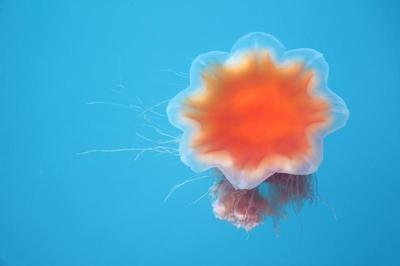 Lion's Mane Jellyfish, Seward, AK