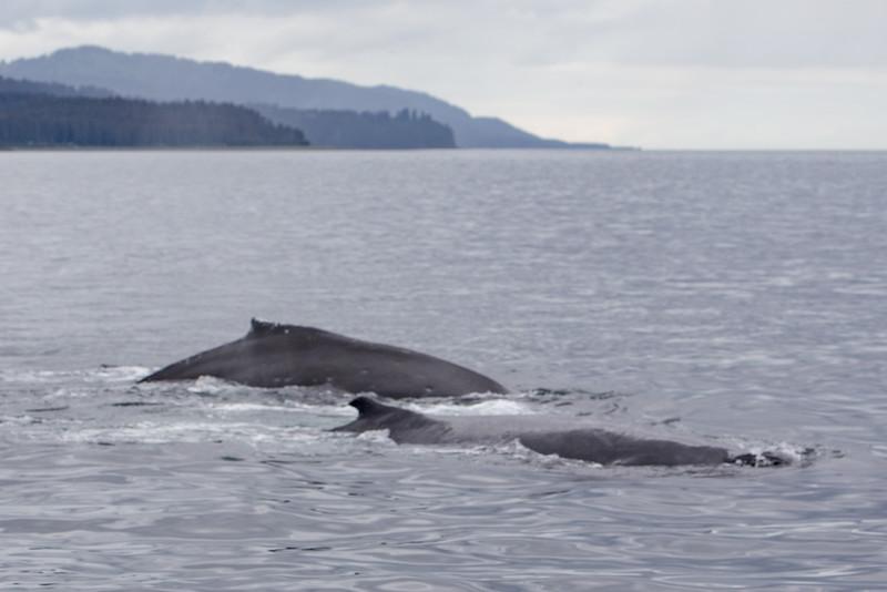 Mother Humpback Whale and Calf. Rainbow Tours Seldovia Wildlife Tour, 7/15/15.