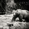 Coastal Brown Bear or Grizzly Bear, Katmai National Park, Alaska