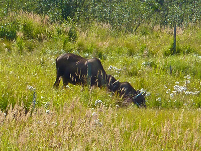 Mother moose and 2 year offspring in Chugach State Park