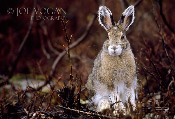 Snowshoe Hare, Denali National Park, Alaska