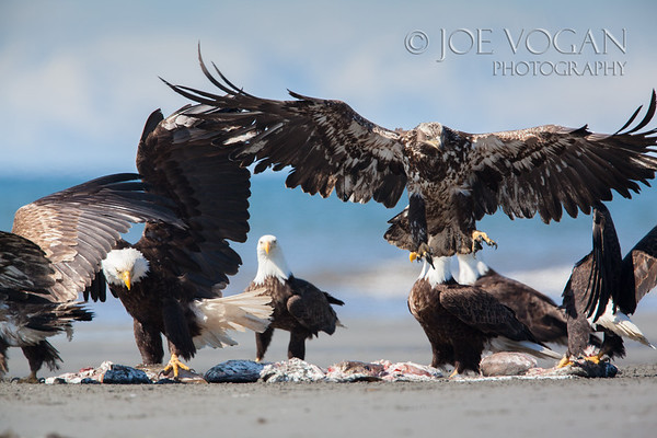 Bald Eagles (mature and juveniles), Anchor Point, Kenai Peninsula, Alaska