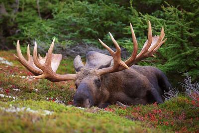 Chillin' Huge Bull Moose