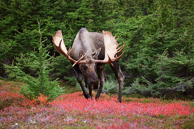 Huge Alaska Yukon Moose