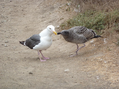 Anacapa Island - Young (left) and mature sea gulls