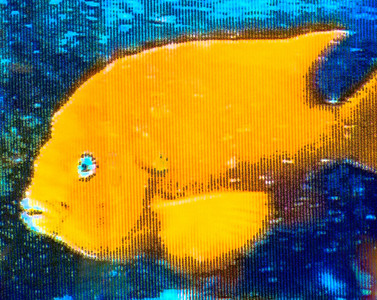 Anacapa Island - Underwater televised picture showing Garibaldi