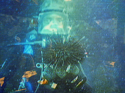 Anacapa Island - Underwater televised picture - Diver with sea urchin