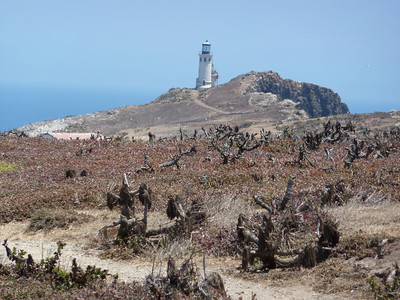 Anacapa Island - with dormant giant coreopsis (tree sunflower) plants