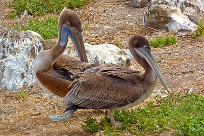 Anacapa Island - Brown pelicans