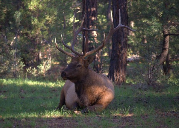 Bull elk laying in the forest at the South Rim of the Grand Canyon