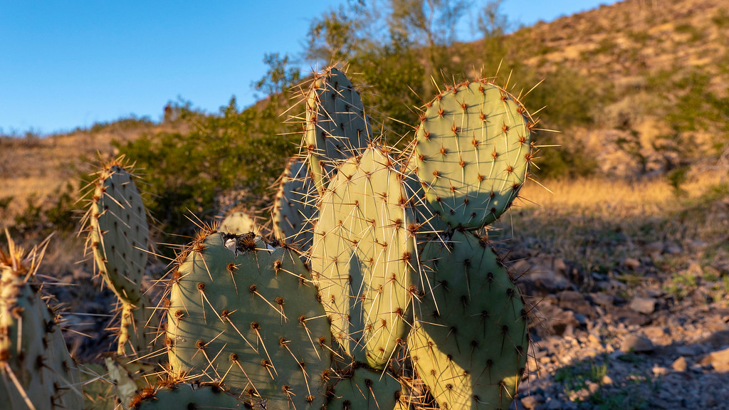 Things to do in Tempe AZ: Cactus in Tempe Arizona