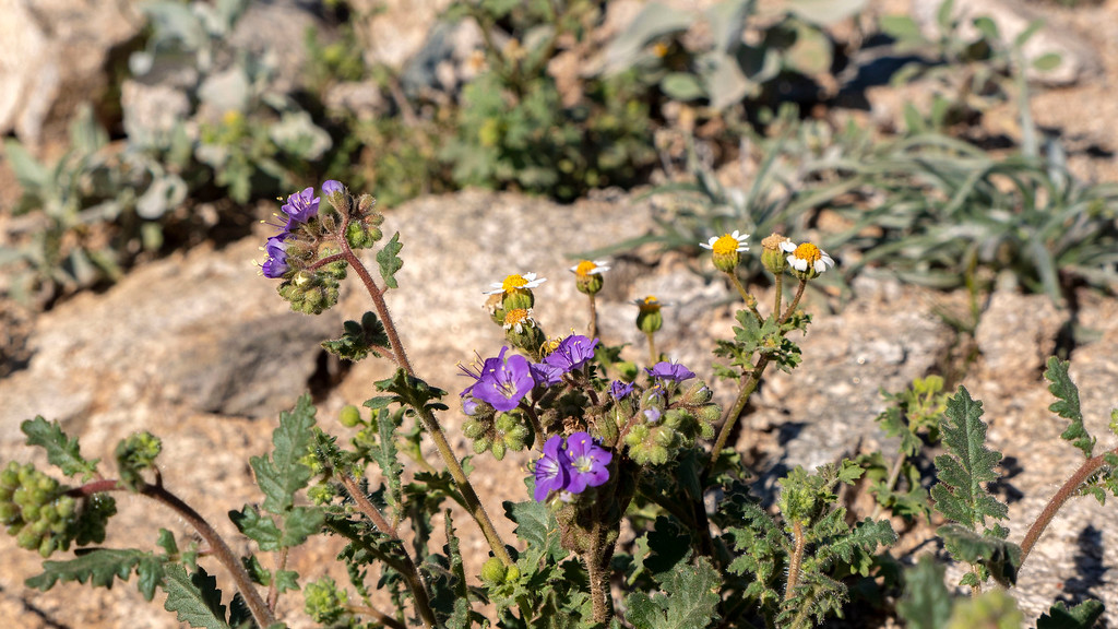 Things to do in Tempe AZ: Wildflowers at South Mountain Tempe