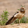 3 Week old Burrowing Owl Chick does a wing stretch - Washington State