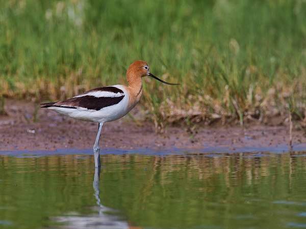 I shot this American Avocet, (Recurvirostra americana) yesterday about 30 miles west of Othello Washington. While shooting Burrowing Owls, a fellow photographer generously divulged this location, and as you can see, it was worth the short drive to get to the small pond where a flock of perhaps two dozen birds were straining food from the mud base of the pond.<br /> <br /> Avocet_02P5209-12x16
