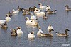BombayHook_SnowGeese_D304774