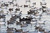 BombayHook_SnowGeese_D304763