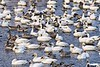 BombayHook_SnowGeese_D304777