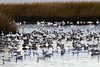 BombayHook_SnowGeese_D304747