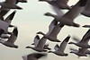 SnowGeese_Flying_1747