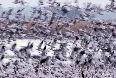 SnowGeese_TakeOff_1741