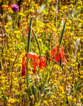 Dead Poppies
