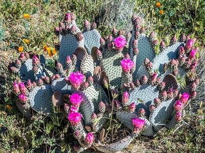 Oputia Cactus