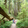 Boy Scout Tree Trail | California Redwoods
