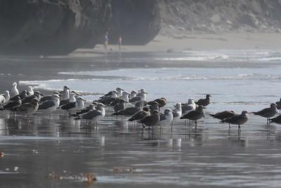 Western, Heermans Gulls