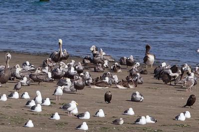 Brown Pelicans, Double-Crested Cormorants, Western Gulls, Heermans Gull