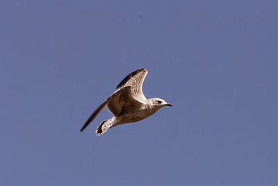 Ringed-Billed Gull