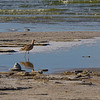 Curlew, Mono Lake