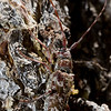 Spotted Pine Sawyer (Monochamus clamator)