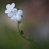 Popcorn Flower (Plagiobothrys nothofulvus)
