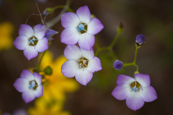 Bird's Eyes (Gilia tricolor)