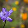 Bluedick, Dichelostemma pulchella