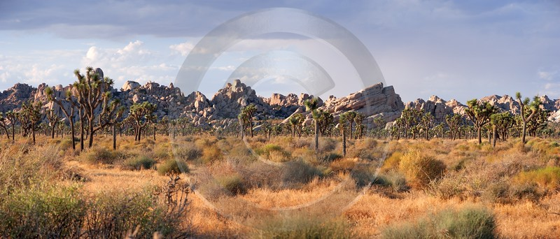 Joshua Tree National Park Twentynine Palms Desert Flower Fine Art Foto Art Photography For Sale - 011182 - 01-10-2011 - 9853x4211 Pixel