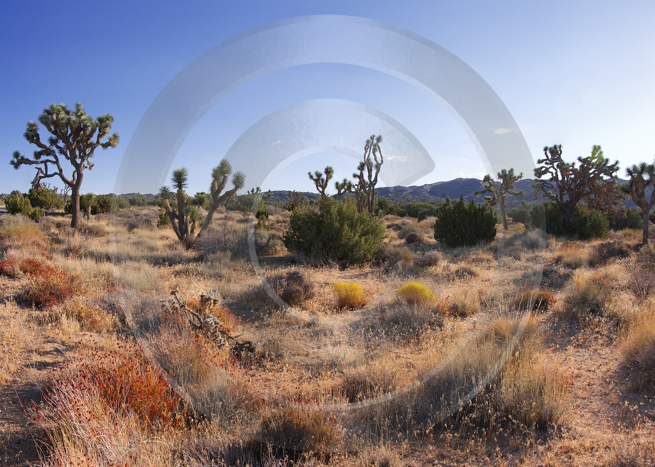 Joshua Tree National Park Twentynine Palms Desert Flower Fine Art America Stock Pictures Rock - 011172 - 01-10-2011 - 6595x4697 Pixel
