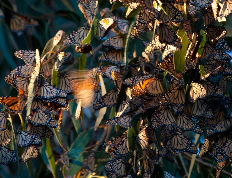 Monarch Butterflies - Pismo Beach