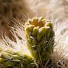 teddy-bear cholla (Cylindropuntia bigelovii)