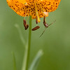 Tiger Lily - Zumwalt Meadows in Kings Canyon National Park