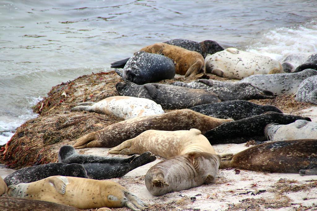 Harbor Seals - Hopkins Marine Station - Photo